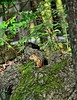DSC_0040n wb (bwagnerfoto) Tags: amerikai csíkosmókus tamias striatus streifenbackenhörnchen eastern chipmunk mammal emlős säugetier nashua nh usa north america nature fauna
