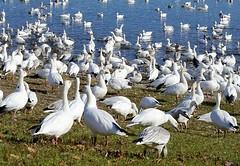 Le passage des oies blanches. (odeber) Tags: obernard birds québec