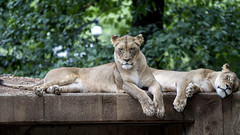 Lions at The National Zoo (dckellyphoto) Tags: nationalzoo nationalzoologicalpark washingtondc districtofcolumbia smithsonian
