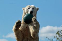 Catch........ (K.Verhulst) Tags: polarbears polarbear ijsberen ijsbeer beren bears beer bear emmen wildlandsadventurezoo wildlands lale