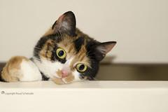 Who's there? (Ruud.) Tags: ruudschreuder batis1885 zeiss batis 1885mm sony7m2 sony sony7 alfa alpha alpha7 sonyalfa sonyalpha ilce7m2 sonyalphadslr cat kat chat katze kater poes tabbyandwhite tabbyandwhitecat tabby calico calicocat schildpattkatze meme