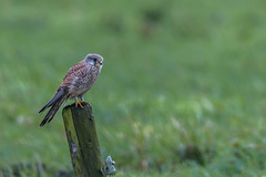 R17_8098 (ronald groenendijk) Tags: cronaldgroenendijk 2017 falcotinnunculus rgflickrrg animal bird birds birdsofprey groenendijk holland kestrel nature natuur natuurfotografie netherlands outdoor ronaldgroenendijk roofvogels torenvalk vogel vogels wildlife