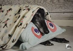 Under Cover Hound -- Explored (houndstooth4) Tags: dog greyhound flattery dogchal ddc 4552 52weeksfordogs