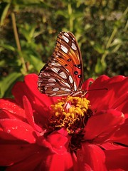 Agraulis vanillae (RZ68) Tags: zinnia gulf fritillary butterfly garden orange passionvine flower red pasion vine fruit feeding nectar lg g6 camera phone