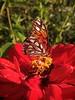 Agraulis vanillae (RZ68) Tags: zinnia gulf fritillary butterfly garden orange passionvine flower red pasion vine fruit feeding nectar lg g6 camera phone