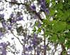 2017 Sydney: Maple Leaves (dominotic) Tags: 2017 mapletree leaves green purple jacarandatree sydney australia