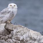 Snowy Owl (Bubo scandiacus) thumbnail
