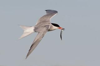 Common Tern Nickerson beach ny.
