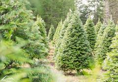 Washington Christmas Tree Farm (Washington State Department of Agriculture) Tags: christmas tree winter holidays trees