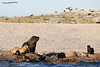 Familia de Lobos Marinos - Family (pniselba) Tags: camarones chubut argentina mar sea ocean oceano lobomarino lobo southamericansealion sealion