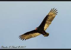Turkey Vulture (Cathartes aura) (ctofcsco) Tags: 11000 1d 1dmark4 1dmarkiv 1div 600mm canon didnotfire digital ef600mmf4lisiiusm eos eos1d eos1dmarkiv esplora explore explored f56 flashoff iso100 mark4 markiv partial photo pic pretty renown shutterspeedpriorityae supertelephoto telephoto unitedstates usa cambridge geo:lat=3844026539 geo:lon=7611973280 geotagged maryland seward