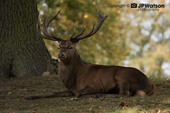 Chilling Stag