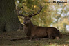 Chilling Stag (J P Watson Photography) Tags: wildlife autumn nature countryside studley royal north yorkshire canon
