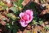 Maig_1480 (Joanbrebo) Tags: barcelona catalunya españa es park parque parc parccervantes garden jardí jardín rosa rose flors flores flowers fleur fiori blumen blossom canoneos70d eosd efs18135mmf3556is autofocus