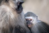 Snuggles (helenehoffman) Tags: africa mother africarocks mom primate mammal baby sandiegozoo child chlorocebuspygerythrus oldworldmonkey monkey vervetmonkey animal