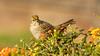 Golden-crowned Sparrow (Bob Gunderson) Tags: birds california fortmason goldencrownedsparrow northerncalifornia sanfrancisco sparrows sparrowsjuncostowhees zonotrichiaatricapilla ngc