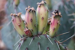 Turning Red (cogdogblog) Tags: cactus