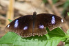 Hypolimnas bolina (Great Eggfly) (GeeC) Tags: animalia arthropoda brushfootedbutterflies butterfliesmoths cambodia greateggfly hypolimnas hypolimnasbolina insecta kohkongprovince lepidoptera nature nymphalidae nymphalinae papilionoidea tatai truebutterflies