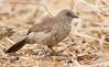 Arrow-marked Babbler (Turdoides jardineii) (George Wilkinson) Tags: arrowmarked babbler turdoides jardineii songbird canon 7d 400mm wildlife malawi africa vwaza marsh nature reserve abc