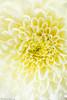 Macro_14 (phi_bona_chi) Tags: macro macrophotography macrodreams macrounlimited nature flowers colorful perfection godoxad200 godoxx1 yongnuoyn560ii canonef100mmf28lmacroisusm 5dmarkii 5dmrkii
