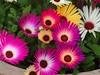Mezabyanthium 5443 (saxonfenken) Tags: 6664flower 6664 colourful november challengeyouwinner challengegamewinner tcf