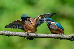 Juvenile Kingfishers / Eisvogel Babys (@Thomas Neuber) Tags: alcedoatthis eisvogel kingfisher baby lasauge natur colorful wildlife