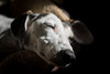Let Sleeping Dogs Lie (Shastajak) Tags: flori lurcher saluki whippet bullterrier crossbreed sighthound gazehound dog rehomed rescued sleeping tired light dark shadows 1971supermulticoatedtakumar11855 f18 manualfocus 55mm m42