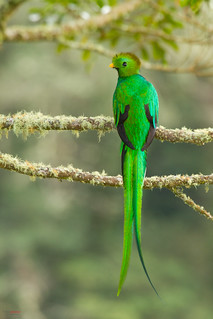 Resplendent Quetzal (Pharomachrus mocinno) perched on aguacatillo tree