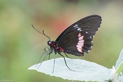 Butterfly 2017-162 (michaelramsdell1967) Tags: red beauty nature macro animals bokeh beautiful closeup leaf butterfly animal pretty green insect black vivid garden insects wings photography zen detail focus vibrant bug butterflies bugs upclose