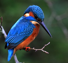 Male Kingfisher (acerman17) Tags: nature wildlife male kingfisher perched hunting fishing stream river woodland parkland