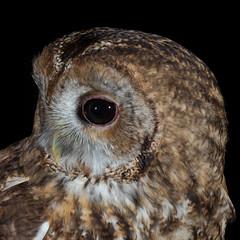Head shot.... (Mr F1) Tags: tawny owl woodland wales johnfanning nature outdoors detail raptor night dark wild
