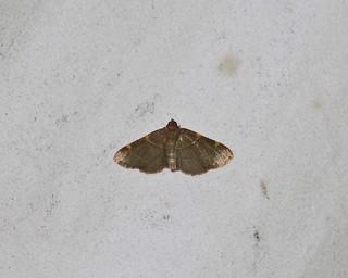 5530 Hypsopygia binodulalis, Pink-fringed Dolichomia Moth