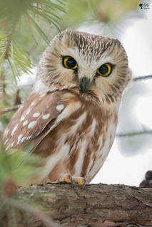 ''La Princesse du domaine!'' Petite Nyctale-Nothern-Saw-whet Owl