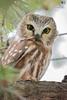 ''La Princesse du domaine!'' Petite Nyctale-Nothern-Saw-whet Owl (pascaleforest) Tags: oiseau bird animal passion nikon nature wild wildlife faune owl hibou fall automne québec canada arbre wood connifère nyctale