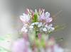Berkah Dalem, God Blessed (pramuditalina) Tags: mygarden cleomehassleriana pretty whiteandpink color seeds growfromseeds pot soil nature lightroomedit