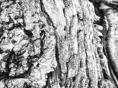 tree bark (avflinsch) Tags: ifttt 500px bw tree texture wood dark dc alive