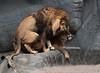LION`S LOVE (babsbaron) Tags: nature tiere animals katzen cats grosskatzen raubkatzen bigcats raubtiere predators löwe lion zoo tierpark hamburg hagenbeck