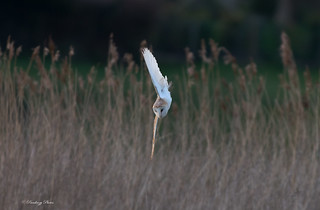 Barn Owls-Tyto alba.