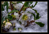 Christmas Rose in the first snow this year in my Garden (scorpion (13)) Tags: hellebore christmas rose flowers nature winter plant color creative snow frame photoart
