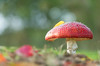 Flying Fungus (Martine Lambrechts) Tags: flying fungus mushroom autumn macro nature
