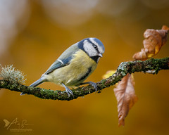Blue Tit (Explored 16 November 2017) (ABPhotosUK) Tags: animals autumn autumnwatch birds bluetit canon cyanistescaeruleus dartmoor devon ef100400mmisii eos7dmarkii garden paridae seasons tits wildlife