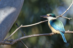 Breaking News 1 (audiodam) Tags: kingfisher australianbirds australianwildlife