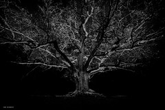 dark is the night (sami kuosmanen) Tags: suomi sky syksy autumn finland forest fun nature north europe luonto light landscape dark bokeh black big old paavolan tammi oak night yö taivas tree tumma travel photography puu pitkä exposure expression eerie scary scandinavia iso