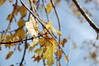 Leaves And Branches. (dccradio) Tags: lumberton nc northcarolina robesoncounty outdoors outside nature natural sky bluesky clouds scenic beauty beautiful pretty nikon d40 dslr tree trees autumn foliage leaves leaf fall branches treebranches treelimbs sticks yellow yellowleaves