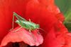 Juvénile grande sauterelle sur coquelicot. ( UNIXetvous ) Tags: sauterelle coquelicot bokeh grasshopper poppy insect