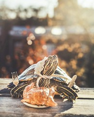 Turkey Day (City Turtles) Tags: light sun dof bokeh bonnet pilgrim november fall warmth outdoors petphotography photography dslr canon photo flickr 2017 thanksgiving turkey animal reptile cute pet turtle