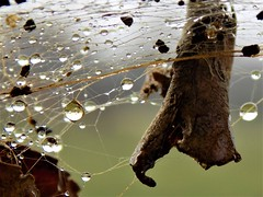 Trapped in a Web (rachael242) Tags: smileonsaturdays smileonsaturday onesingleleaf nature web cobweb spiderweb spider waterdrops water drops liquid macro close up leaves leaf