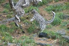 Snow Leopard Dance (zenseas busy) Tags: washington pantherauncia unciauncia helen wpz aibek snowleoparddance snowleopard woodlandparkzoo seattle phinneyridge dance playing cub fourandhalfmonthsold