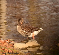 Duck_0966 (Porch Dog) Tags: 2017 garywhittington kentucky nikond7000 nikkor18300mm marshallcounty november ducks park wildlife nature avian feathers