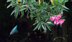 DSC_3687 (melvhsc100) Tags: bird kingfisher nature wildlife gardenbythebay singapore nikon7200 tamron150600mm singaporeattractions